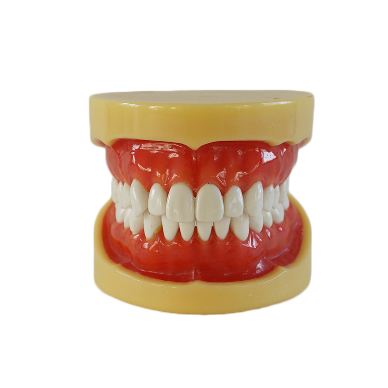 1PC Dental Removable Standard Model Teeth Model with 28 teeth Without Articulator Hard Gum as shown in the photo 2016 dental soft gum practice teeth model for students with removable teeth