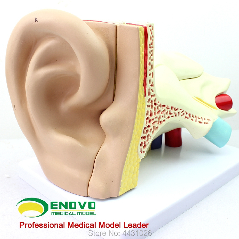 ENOVO A model of the auditory system of ear цена