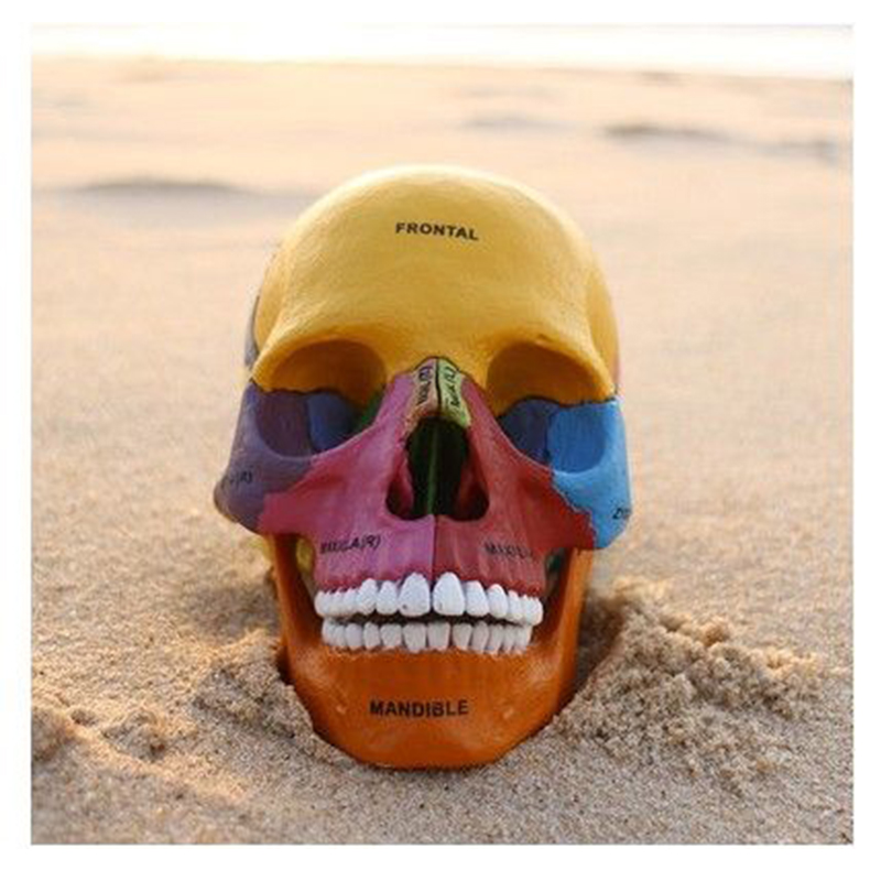 купить 4D MASTER Color Human Skeleton Anatomical Model, Assembled Skeleton Model Medical Science Animal Skull human Anatomy Action Toys