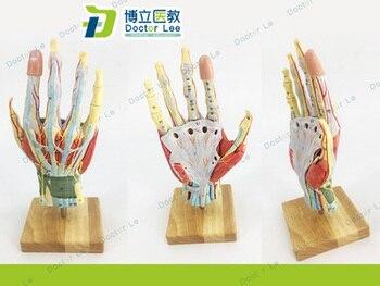 1:1 modelo Neurovascular modelo anatômico do tamanho Da Palma da mão Mão-pé cirurgia minimamente invasiva à mão modelo