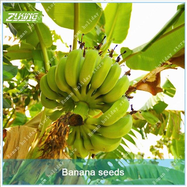 Zlking 100 Pcs Rare Chinese Banana Fruits Tree Bonsai Easy To Grow