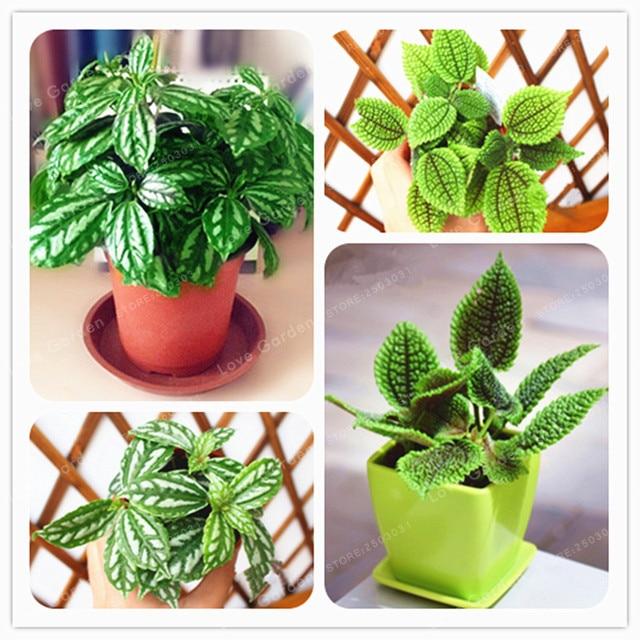 50 Pcs Pilea Notata Seeds Bonsai Plants Indoor Anti Radiation Absorb Dust Tree 100