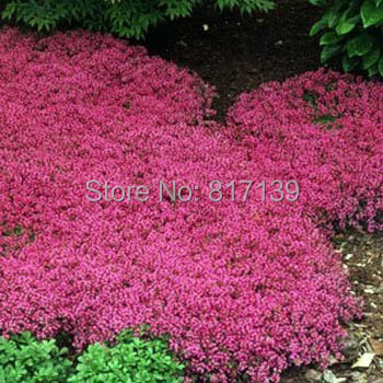 55507bf42e66 New Home Garden Plant 10 Seeds Genuine Thymus Serpyllum Magic Carpet  Creeping Thyme Ground Cover Herb Seeds Free Shipping