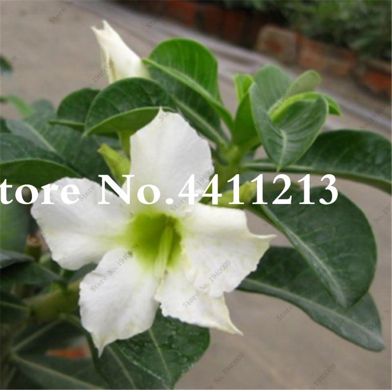 Unique Bonsai White Desert Rose Flower Ornamental Plants Flowers