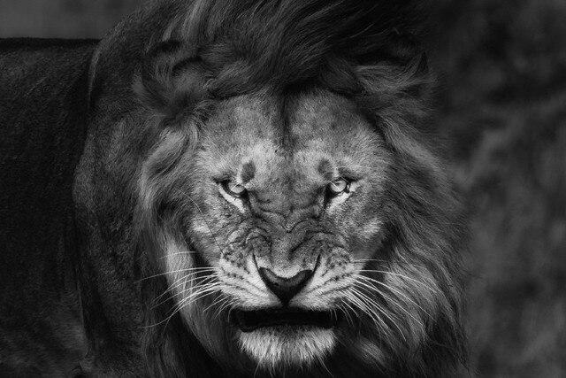 Diy quadro rei dos animais animais selvagens preto e branco tecido