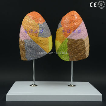 Free shipping&Human anatomy model, color lung function area, Department of respiration, medicine, organ model, lung model.