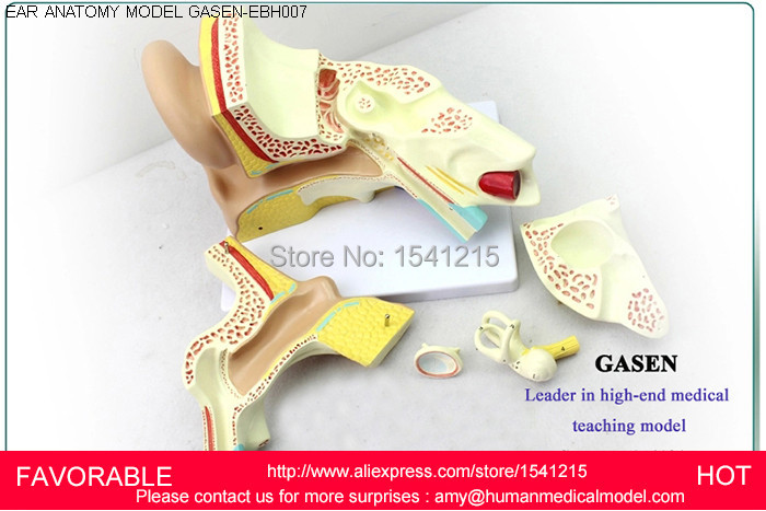 LISTENING TEACHING MODEL,EAR ANATOMICAL MODEL,ANATOMY MODEL,AURICLE,HUMAN EAR EXTERNAL EAR MIDDLE EAR INNER GASEN-EBH007 kidney anatomical model bladder structure teaching medicine teaching aids male genitourinary model gasenhn 007