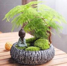 10PCS Spárga Spárga (Spárga) - Kis Bambusz Bonsai Setose Spárga, Tisztítsa meg a levegő cserepes