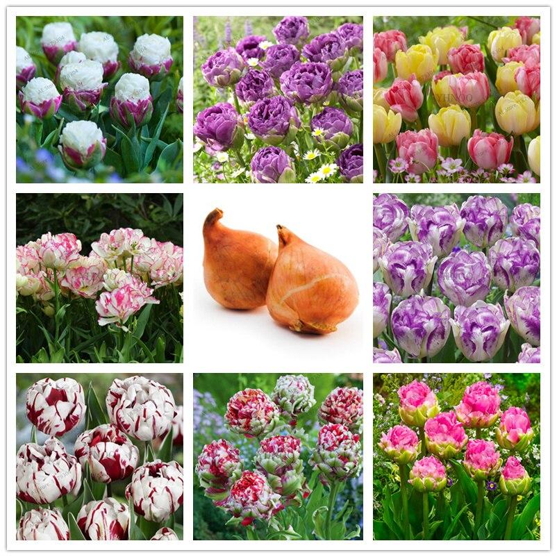 5PCS/LOT double tulip bulbs(not tulip Plantas) flower bulbs real touch wedding flower bons