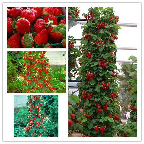 300 Climbing Red Strawberry Seeds With SALUBRIOUS TASTE * NON-GMO Strawberry Mount Everest* EDIBLE * Fruit,Heirloom Vegetables