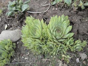 1 kg natural fimbriatus Umbigo fimbriatus Orostachys orostachyos extrato herba extrato extrato em pó
