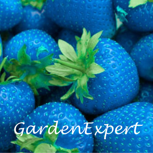 100pcs Rare Blue Strawberry Seeds Rare Fruit Vegetable Seeds Potted Strawberry Bonsai Plant Home Garden Free Shipping