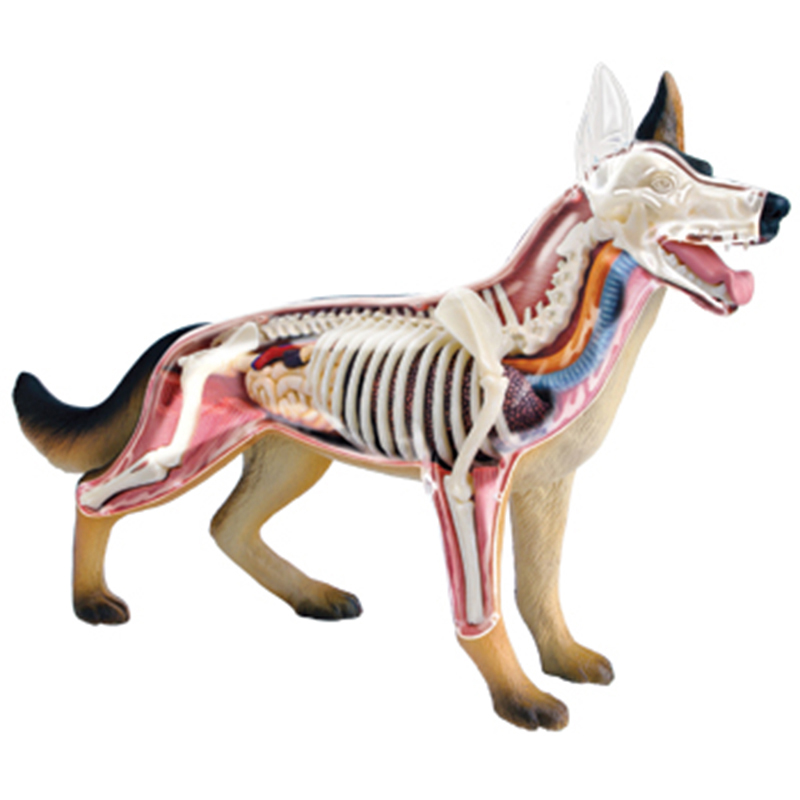 4D Master Dog Anatomical Model Toys Skeleton Model Bones Dimensional Anatomical Model Science Education Model Action Figure jason freeny balloon dog jelly bear perspective anatomical skeleton model 4 dmaster novelty toys creative gifts