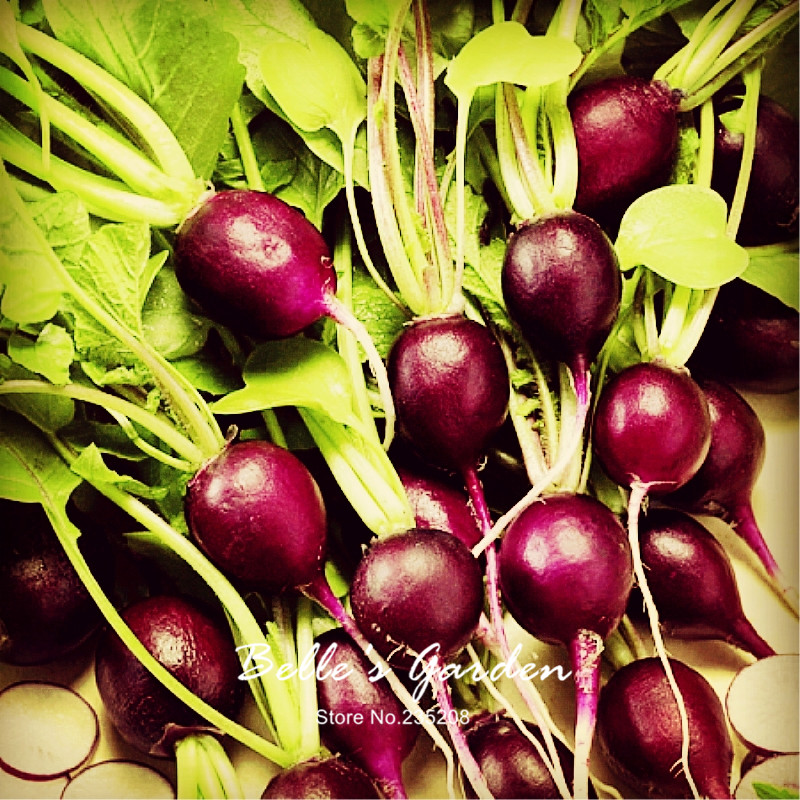100pcs Unusual Purple Round Plum Malaga Radish Seeds Imported Oganic Violet Radish Home Garden Fruit Vegetable Seeds