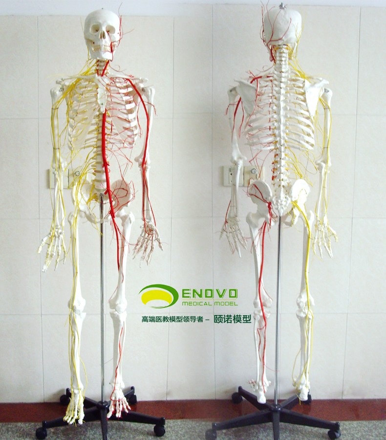Echte menschliche 170 CM skeleton nerven und gefäß skeleton proben ...