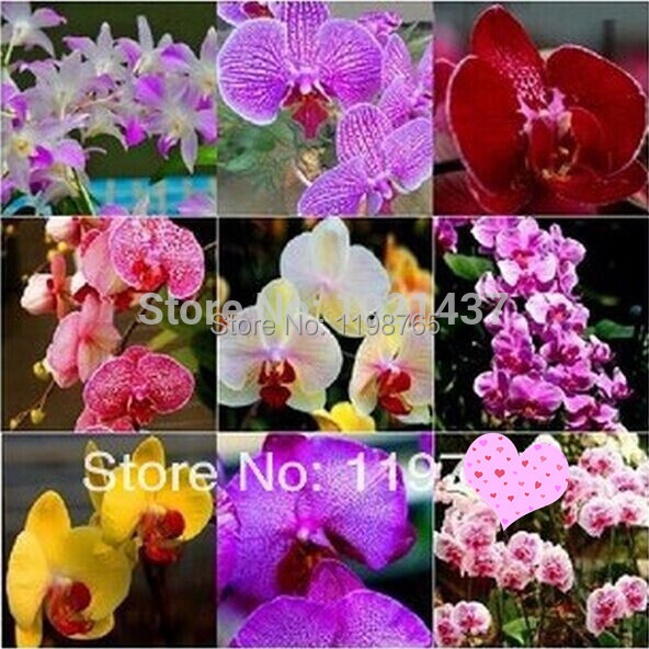 100pcs50pcs Unique Mix Color Phalaenopsis, Butterfly Orchid Flower Seeds,+  Gifts, Elegant