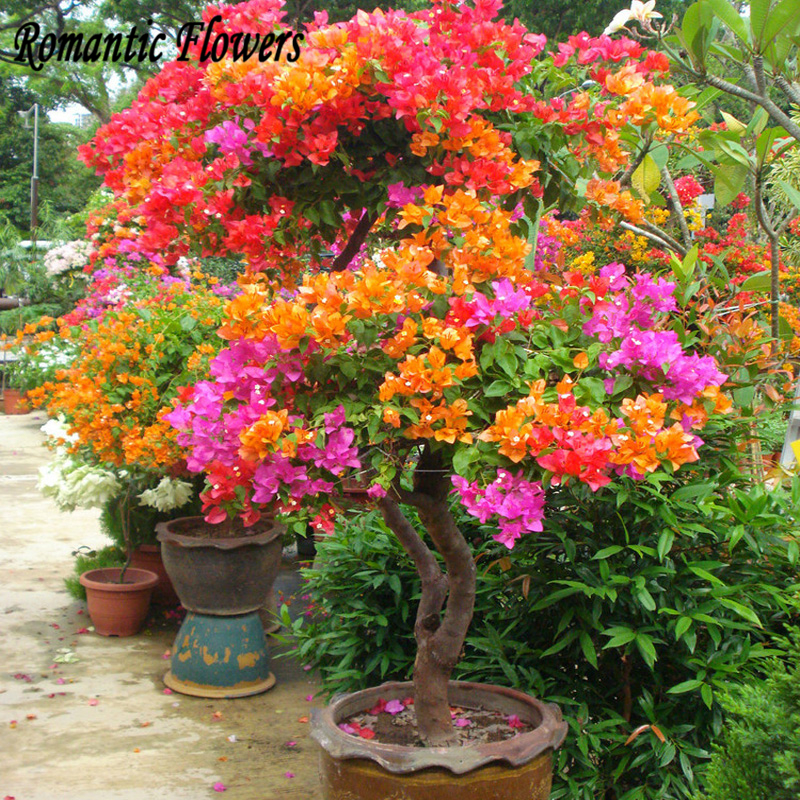 Royal Paradise Garden Growing Bougainvillea From Seed