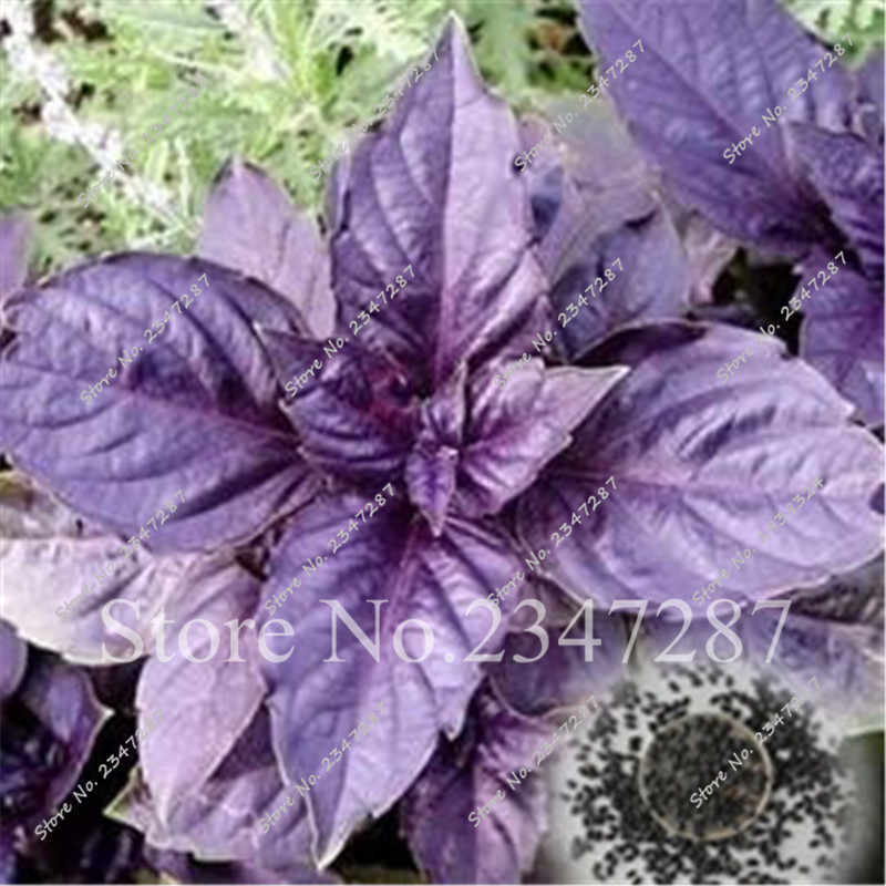 Promotion!!!! 200 Pcs Purple Basil Bonsai - Aromatic Plant Bonsai Grass Bonsai Bonsai Plant for Home Garden