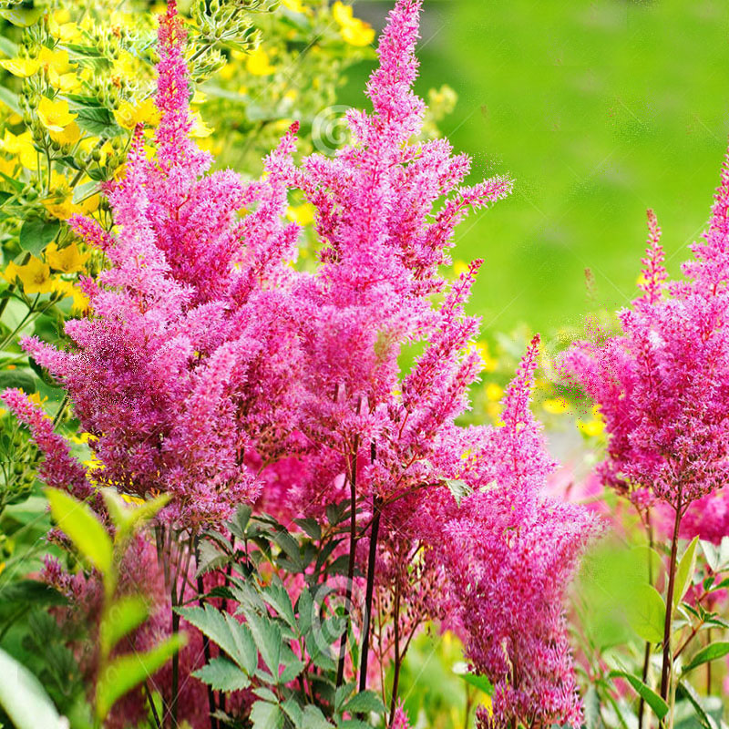120 Pcs Pink Astilbe Chinensis Seeds Balcony Garden Patio Potted Bonsai  Plants Chinese Astilbe Flower Seeds