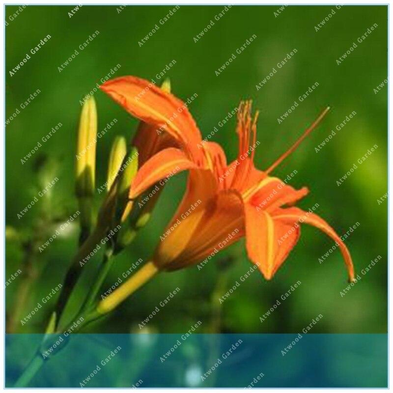ZLKING 100 шт. Hemerocallis Citrina оригинальной упаковки органических Цитрон Лили Травяной овощи
