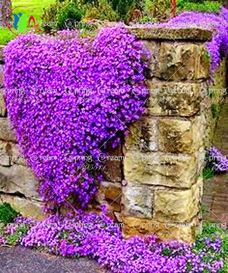 100/Rock Cress, Aubrieta Cascade Purple FLOWER SEEDS, Deer Resistant Superb perennial ground cover, flower seeds for home garden