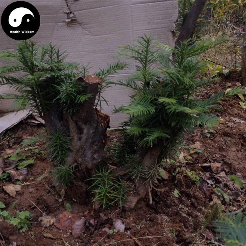 Buy Cephalotaxus Fortunei Tree Semente 16pcs Plant Cedar Fortune Plumyew Tree ...