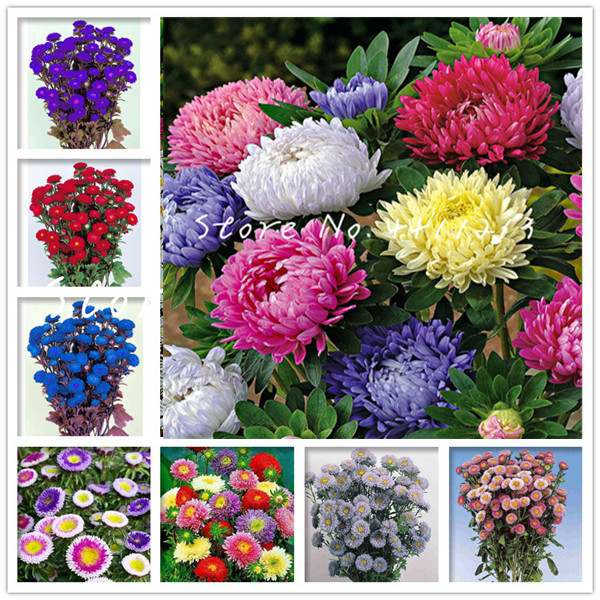 Free Shipping 100 Pcs/bag Rare Indoor Flower Aster Bonsai Plants Chinese Chrysanthemum Mixed Color Bonsai For Home Garden Decor