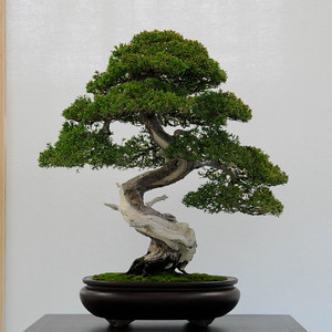 50 juniper bonsai tree potted flowers office bonsai purify the air