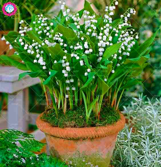 100PCS Rare White Bell Orchid Seeds Flower Campanula Bonsai Flower Seeds Convallaria Seed Plant Pot For Home Garden
