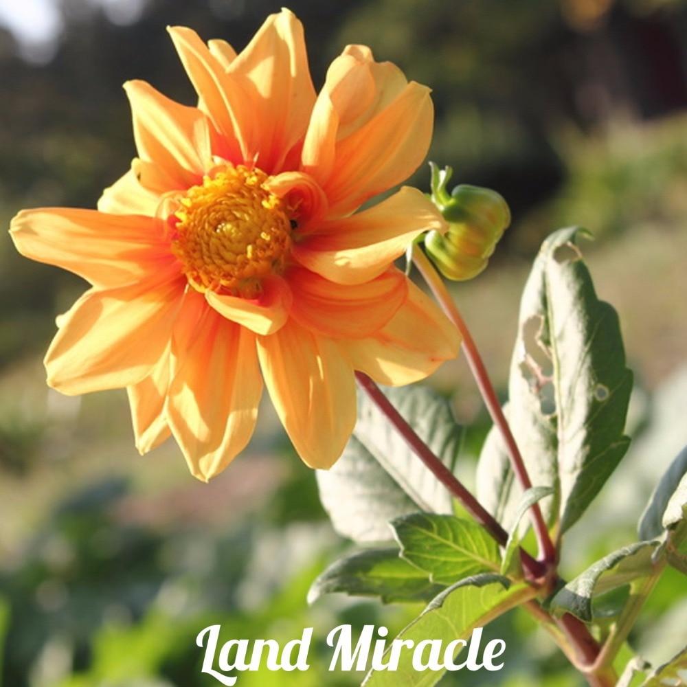 50 Seeds Unique Orange Fireball Dahlia Seeds Beautiful Flower