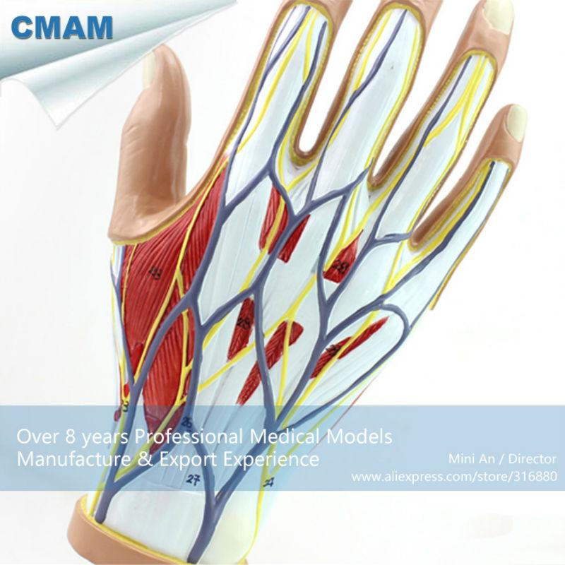 12031 CMAM MUSCLE08 Menschlichen Hand Anatomie Muscle 4 Parts ...