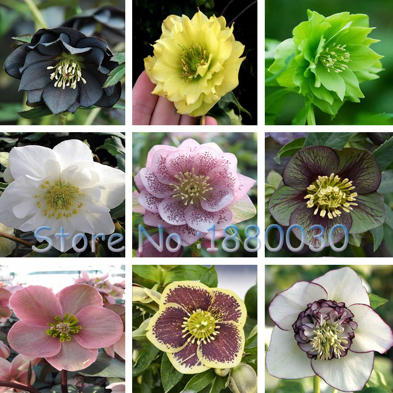 New 20 different colors Japanese bonsai Potted Helleborus seeds DIY home garden 100PCS