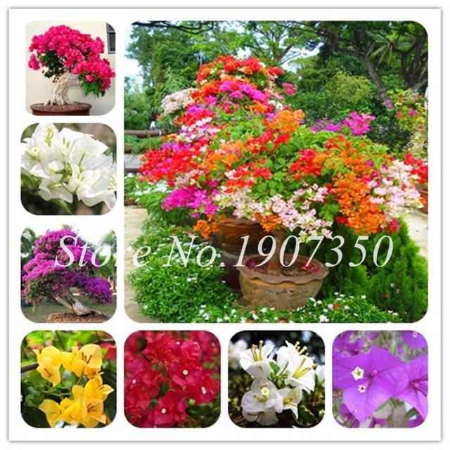 100 piezas mezcladas Bonsai Bougainvillea árbol Dwarft balcón en maceta, jardín Bonsai flor planta inmensamente llamativa Floriferous Hardy planta