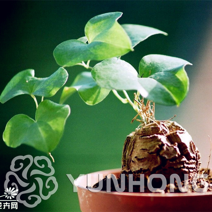 New Arrival Home Garden Succulent Plant 1pcs Bonsai Elephant S Foot Dioscorea Elephantipes Free Shipping In From On