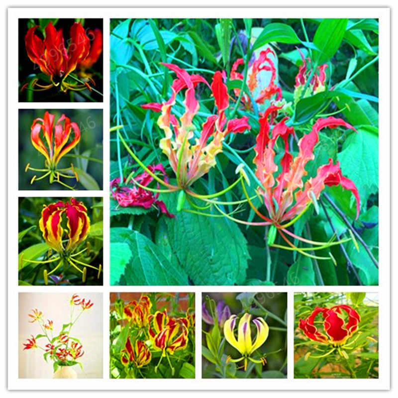 A Package 50 Pieces Garland Flame Lilium brownii Flower bonsai Balcony Bonsai Courtyard Plant Flowers Lily plants free shipping