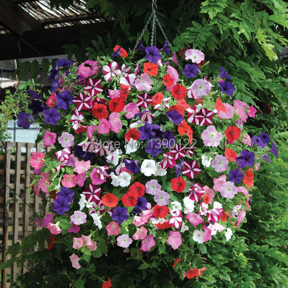 100pcs hanging petunia  seeds melissa original flower seeds buy-direct-from-china  ornamental-plant