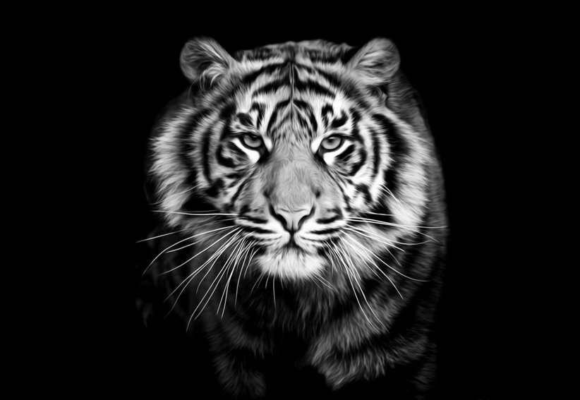 Jaguar Predator Black Animal Muzzle Art Wallpaper: Modern Decor Art Wall Predator Tiger Black And White