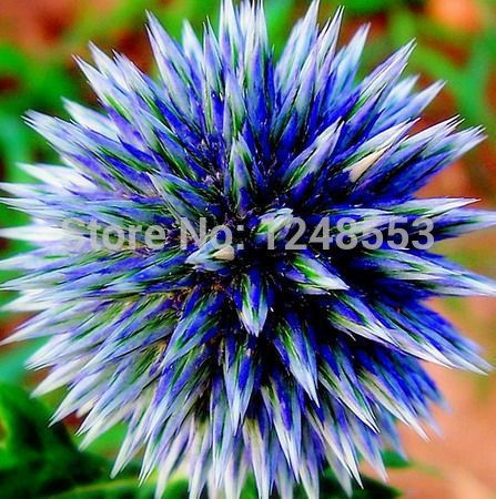 10pcs / bag (3 colors), Globe Thistle flower seeds bonsai seed flower, DIY home garden plant, free shipping