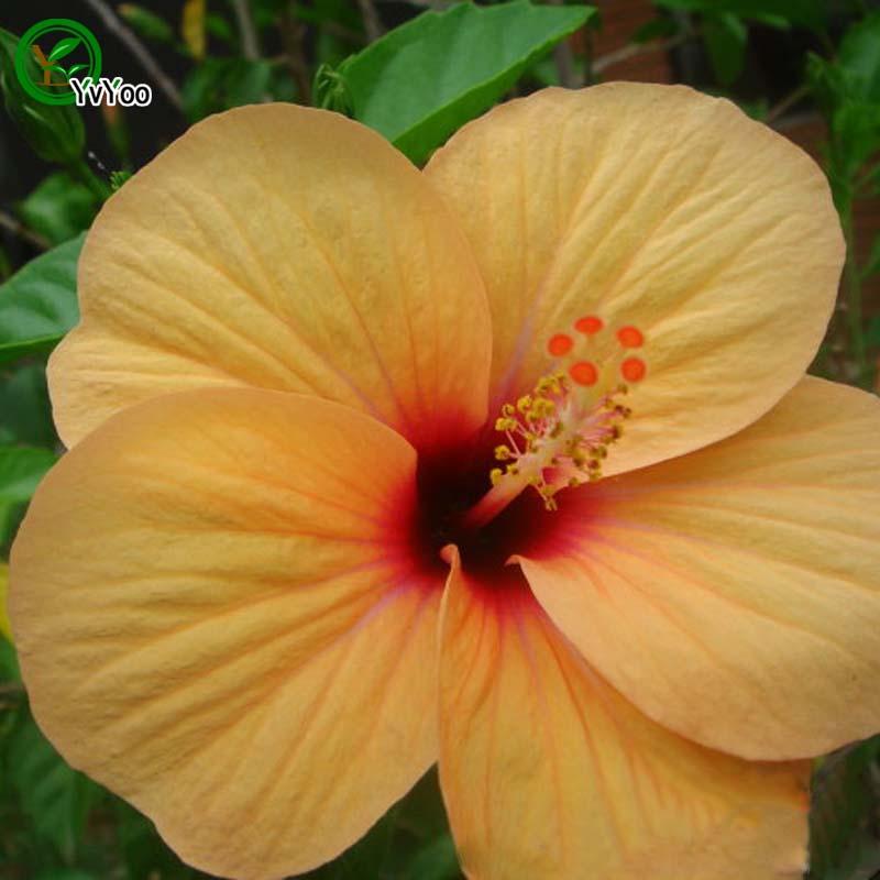 Beautiful Planter Des Hibiscus De Jardin Ideas - Payn.us - payn.us