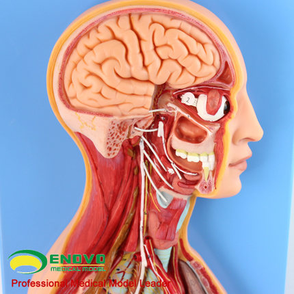 Palabra clave: nervio planta; Anatomía; sistema nervioso autónomo ...
