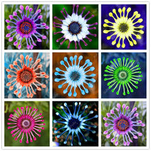 100 pcs Multi-Color Osteospermum Bonsai Chinese Rare Flower Perennial Indoor Or Outdoor Flowers Plant For Home Garden decoration(China)
