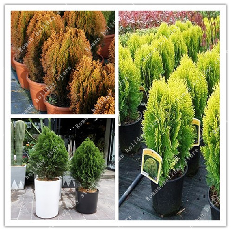 Garden Pots & Planters Home & Garden The Cheapest Price Zlking 20 Pcs Multicolor Cypress Trees Mix Platycladus Orientalis Oriental Arborvitae Conifer Home Diy Garden Bonsai Relieving Heat And Sunstroke