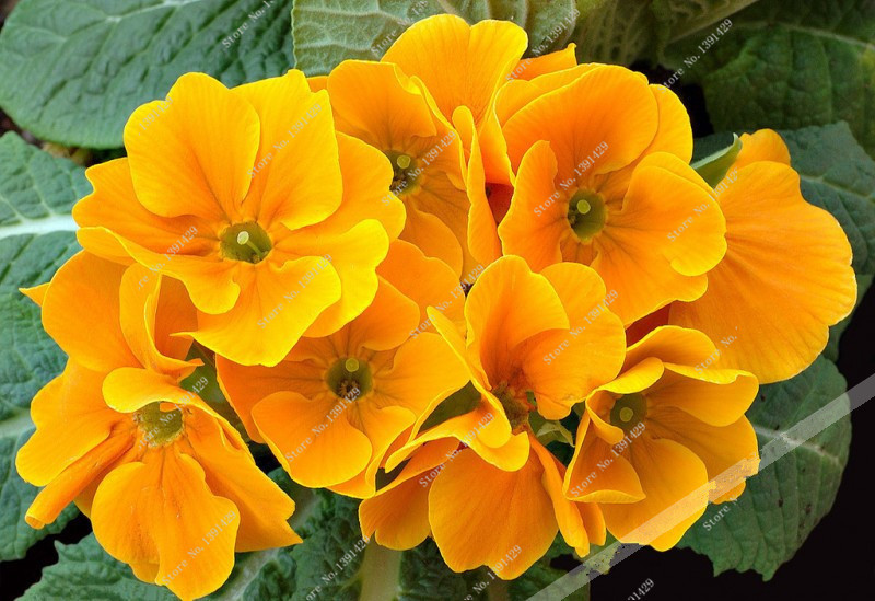 Promotion 100 yellow primrose primula fragrant diy home garden 100 yellow primrose primula fragrant diy home garden flower plant resistant free shipping in bonsai from home garden on aliexpress alibaba group mightylinksfo