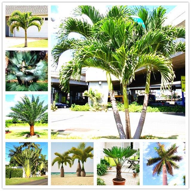 10 stücke Palm Flores Bonsai, Ravenala Madagascariensis Chinese Fan Palm Anlage, Hohe Immergrüner Baum Diy Garten, angehende rate 97%