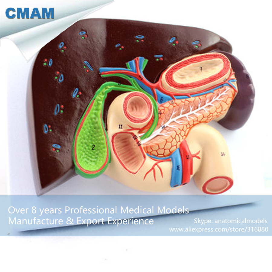 12539 CMAM-VISCERA02 Human Liver and Duodenum Anatomy Model, Medical Science Educational Teaching Anatomical Models cmam a29 clinical anatomy model of cat medical science educational teaching anatomical models