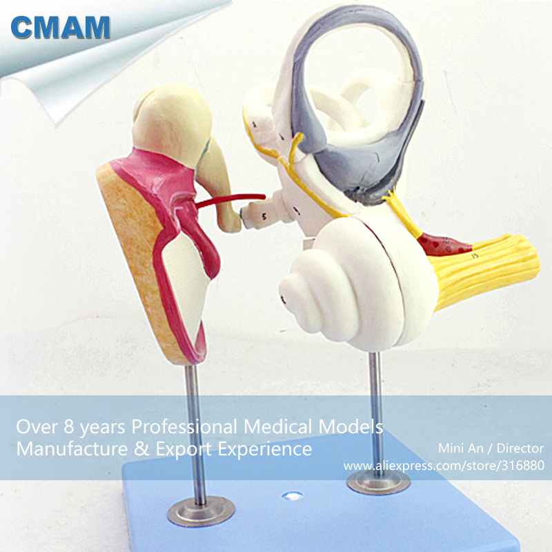 12518 CMAM-EAR03 Human Inner Ear Anatomy Model, Medical Science Educational Teaching Anatomical Models cmam viscera01 human anatomy stomach associated of the upper abdomen model in 6 parts