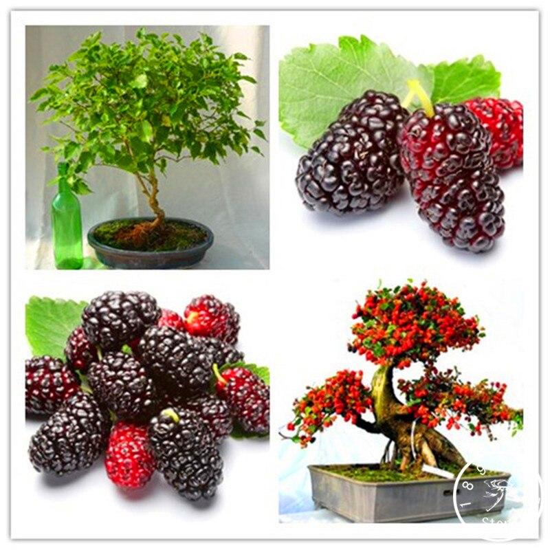 Loss Promotion!200 Plantas/Lot Mulb Erry Bags Mulberry Fruit Garden DIY Home Bonsai Morus Nigra Tree, Black Mulberry Flore Plant