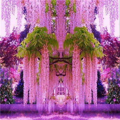 Big sale 10 pcs set Chinese Wisteria seed Purple Wisteria Flower Seeds for DIY home garden PLANT GARDEN Free shipping