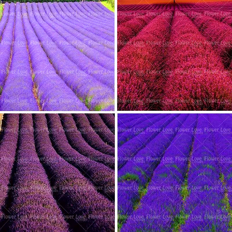 100PCS French Provence Lavender Seeds Beautiful Flower Seeds Very Fragrant Organic Lavender Plant For Home Garden Planting