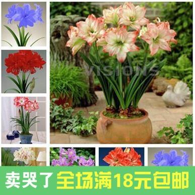 flores holands macetas con plantas y flores hippeastrum especies de bulbosa floracin ao opciones multicolor